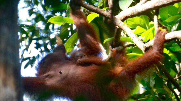Orangutanger i Semonggoh.