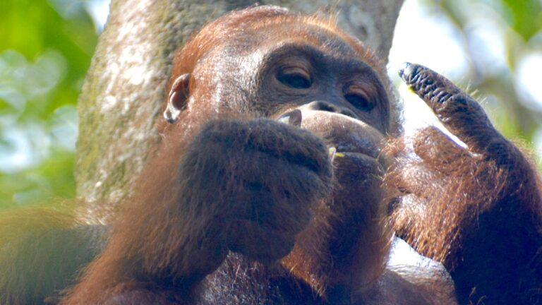 Orangutang i Semonggoh.