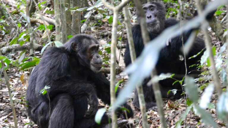 Chimpanser i Kibale.