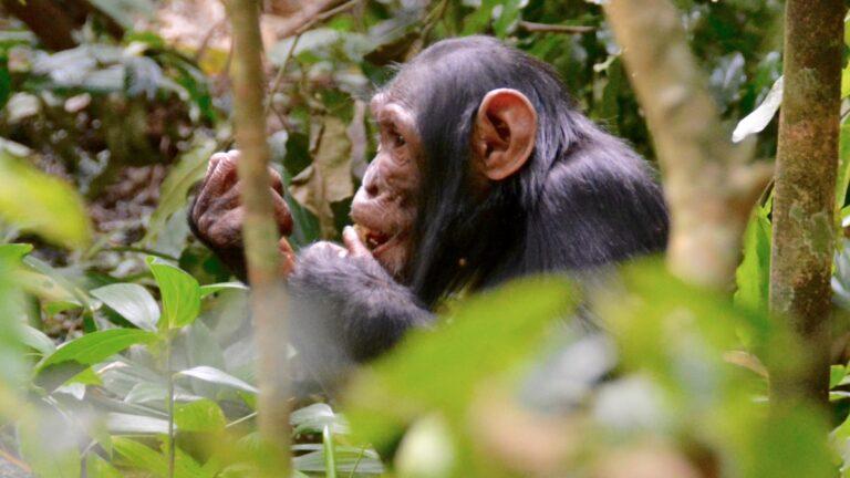 Chimpanse i Kibale.