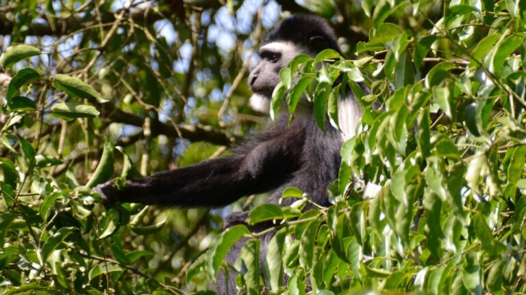 Kappeguereza i Bigodi, Uganda.