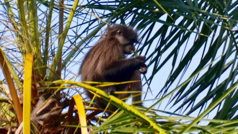 Gråkindet mangabey, Bigodi, Uganda.