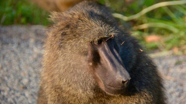 Anubisbavian, Kibale, Uganda.