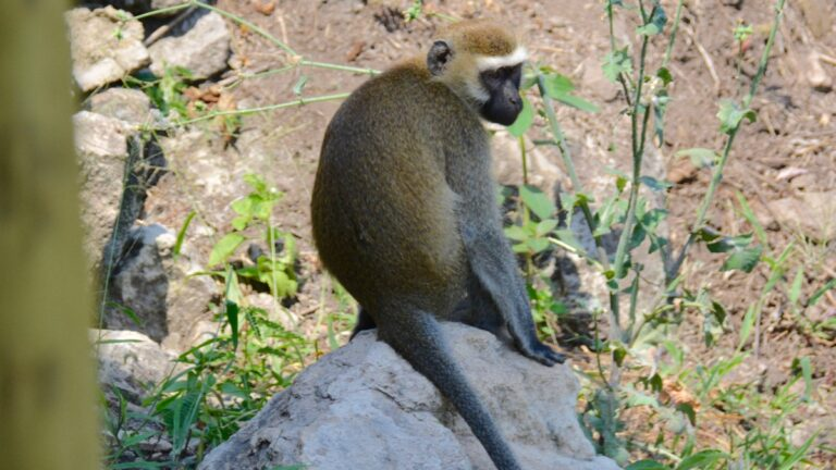 Tantalus-abe ved Queen Elizabeth National Park.