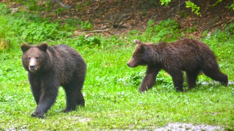 Brune bjørne i Rumænien.