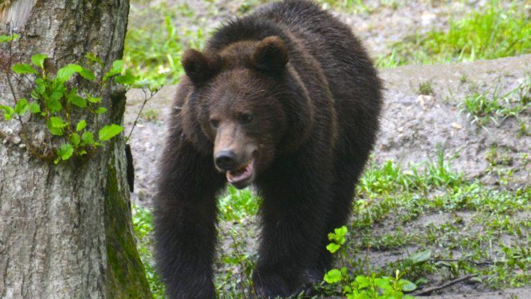 Brun bjørn i Rumænien.