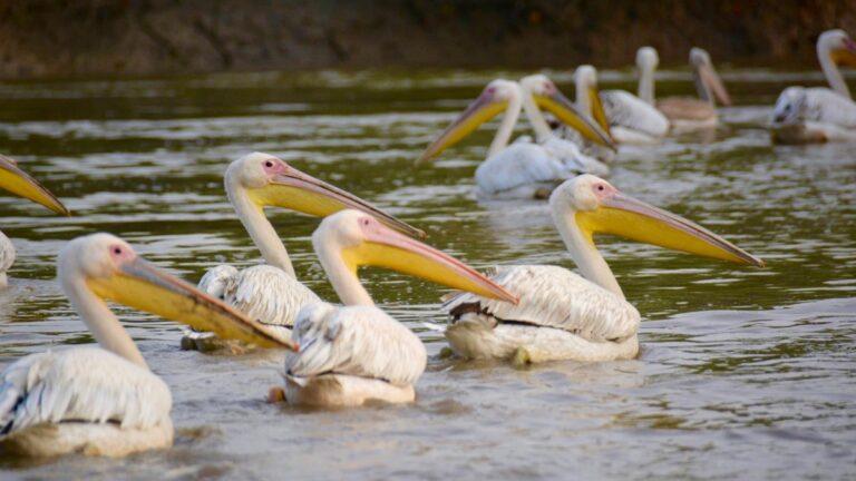 Hvide pelikaner, Bao Bolong.