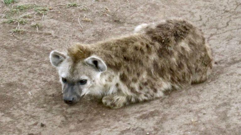 Plettet hyæne, unge.