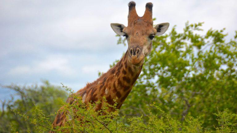 Giraf.