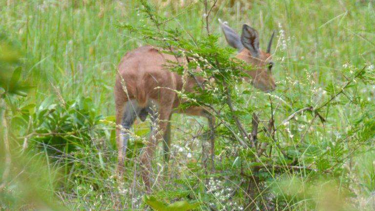 Steenbok.