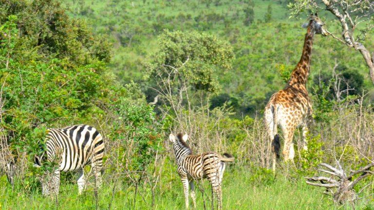 Zebraer og giraf.