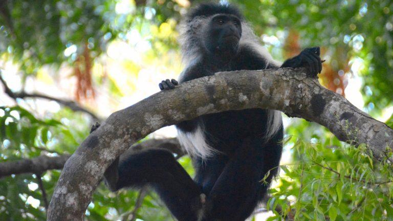 Angola colobus.