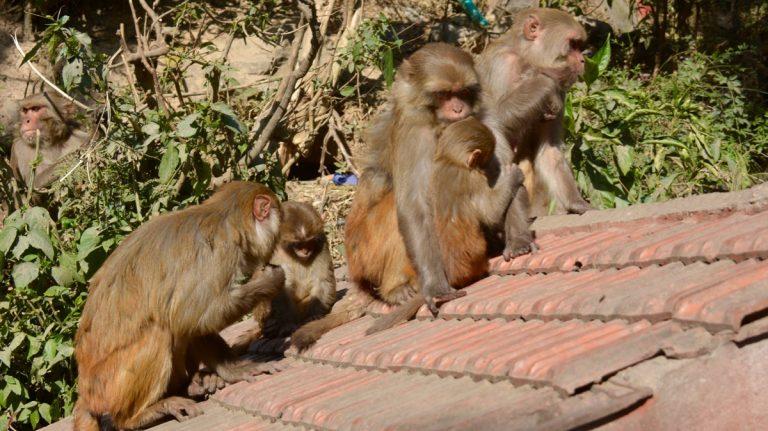 Rhesusaber, Kathmandu.