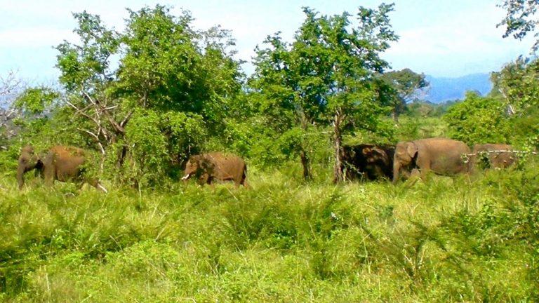 Indiske elefanter i Udawalawe.
