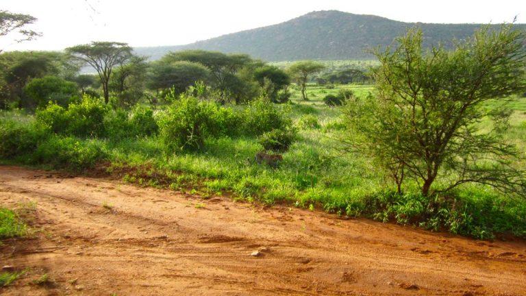 Leopard i Tsavo West.