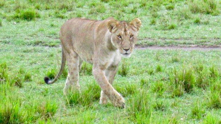 Løve i Masai Mara.