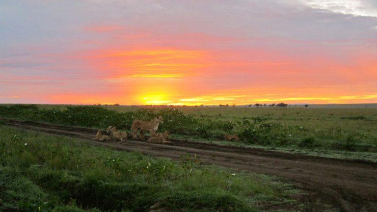 Løver i Masai Mara.