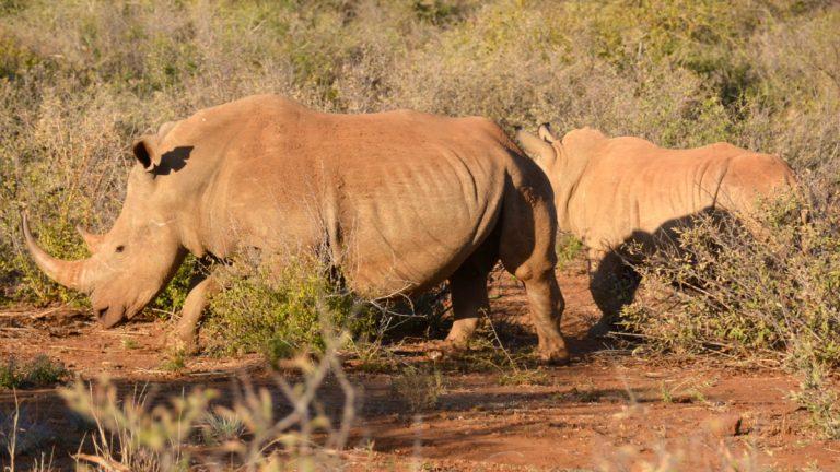Hvide næsehorn.