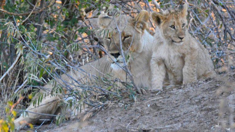 Løver.