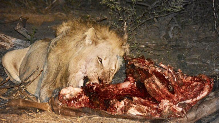 Løve.