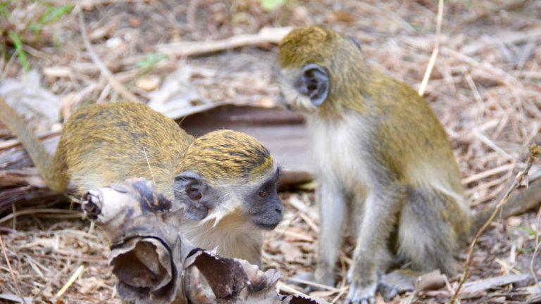 Grønne aber, Bijilo.