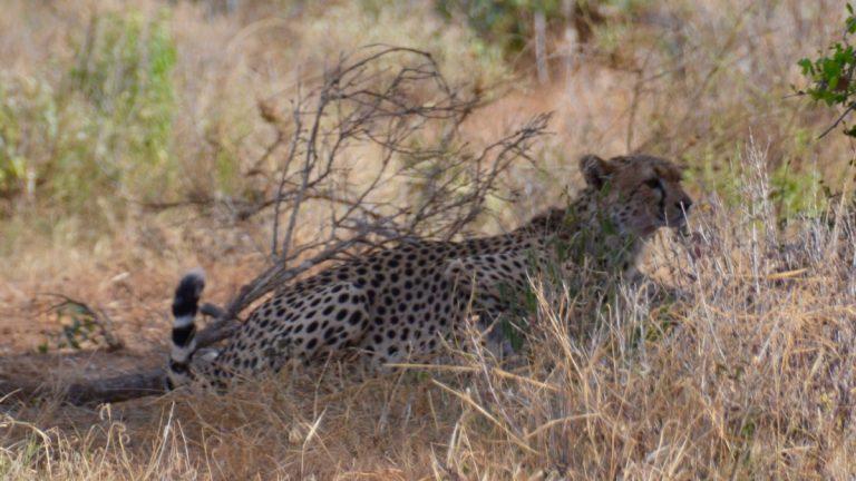 Gepard.