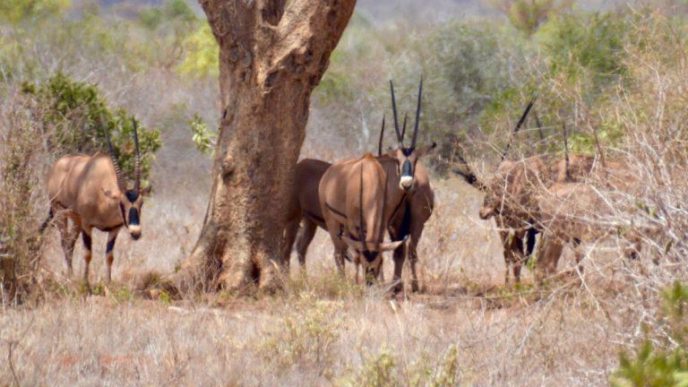 Fringe-eared oryx.