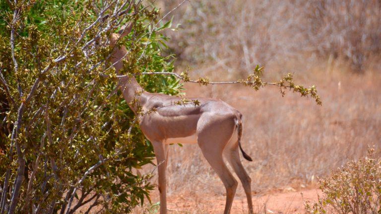 Girafgazelle.