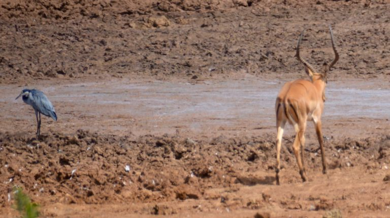 Impala.