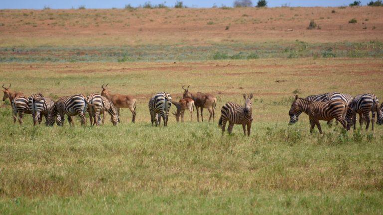Zebra og Coke's koantilope.