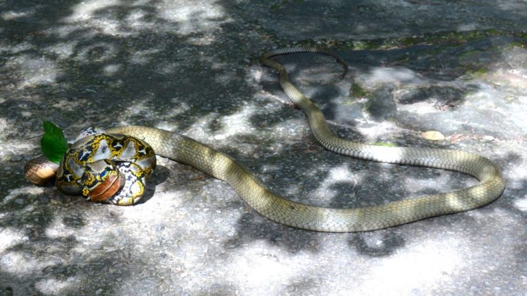 King cobra and reticulated python.