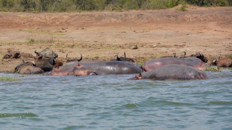 Flodhest og kafferbøffel.