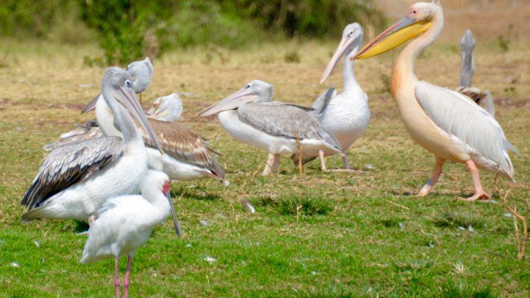 Hvid pelikan, rødrygget pelikan og afrikansk skestork.