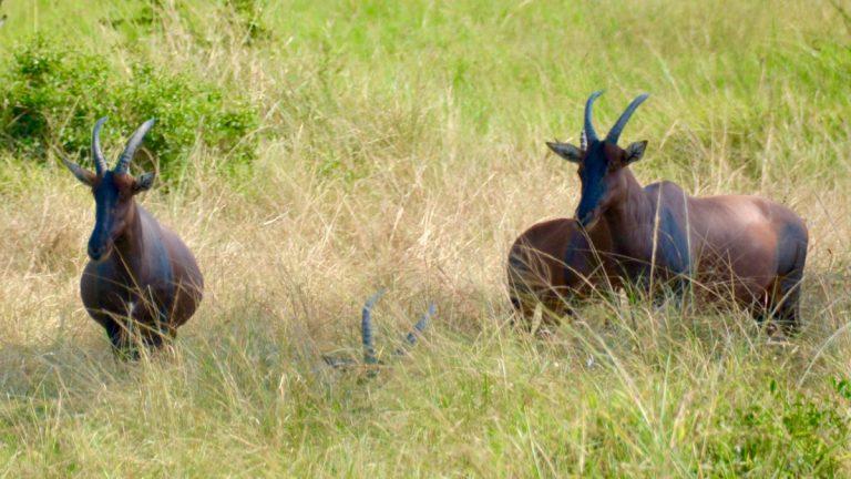 Topi-antilope.