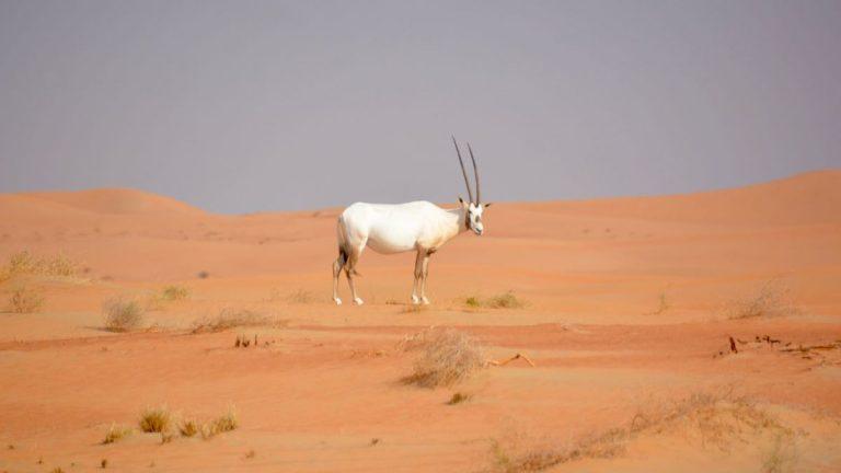 Oryx i Dubai Desert Conservation Reserve.