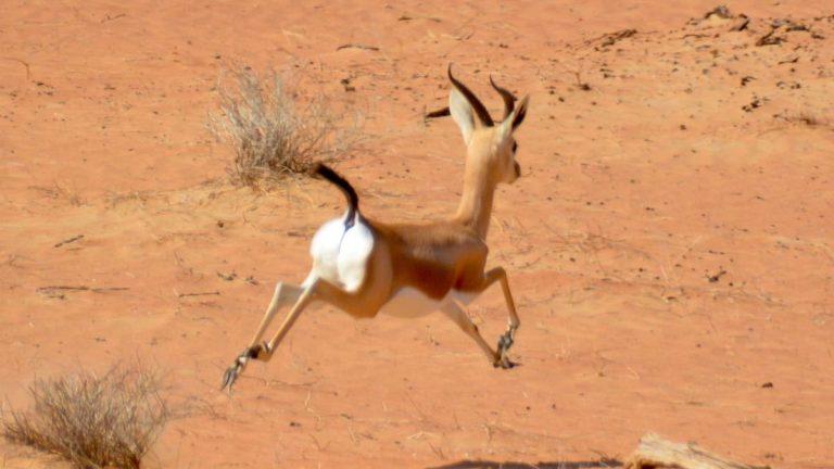 Arabisk gazelle.