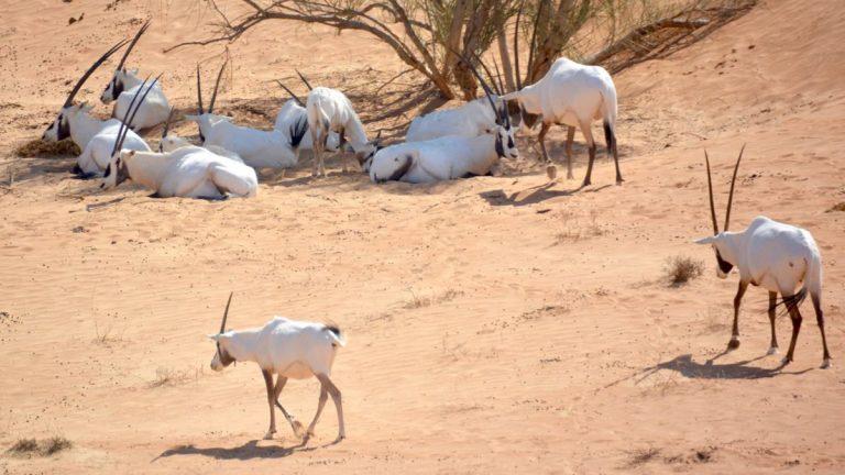 Oryxer i Dubai Desert Conservation Reserve.