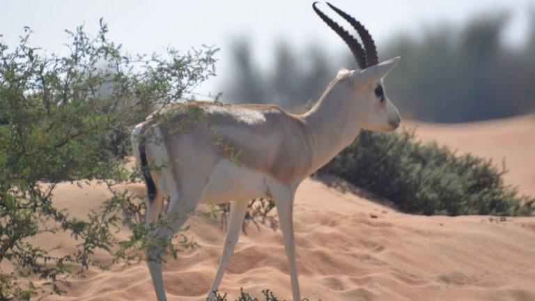 Tyndhornet gazelle