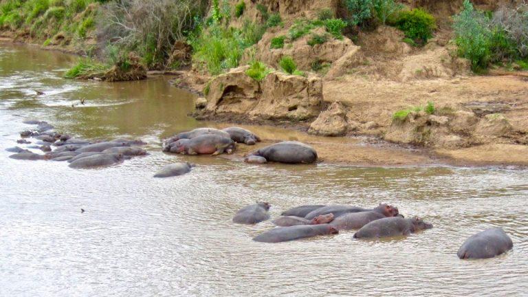 Flodheste i Mara floden.