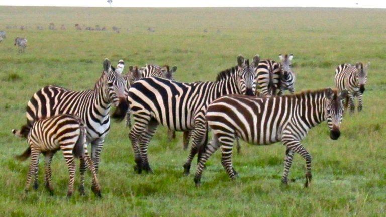 Zebraer i Masai Mara.