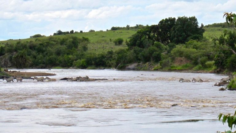 Zebraer i Marafloden.