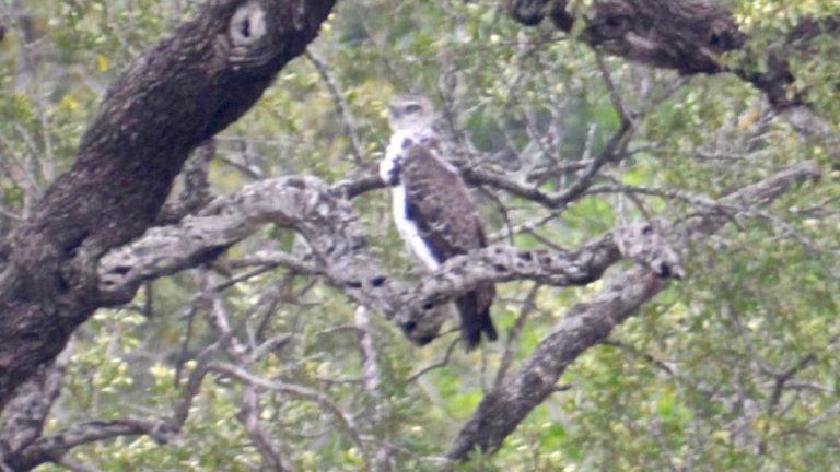 Kampørn i Kruger, Sydafrika.