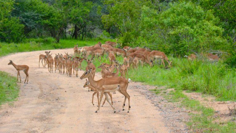 Impalaer i Kruger, Sydafrika.
