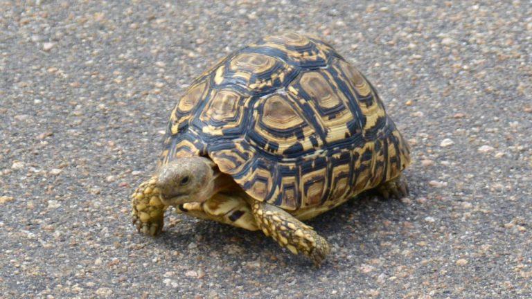 Leopardskildpadde, Kruger, Sydafrika.