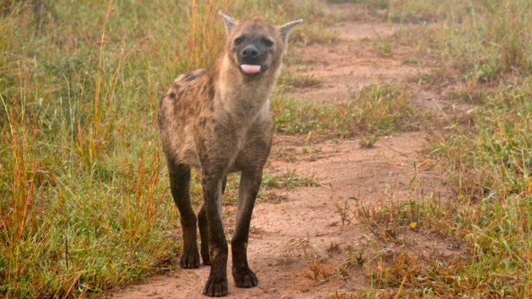 Plettet hyæne i Madikwe, Sydafrika.