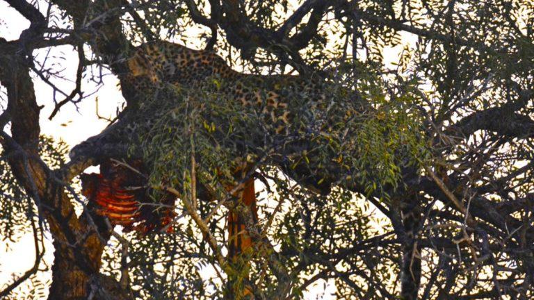 Leopard æder impala i Manyeleti, Sydafrika.