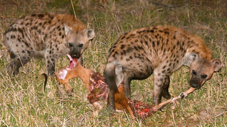Hyæner æder impala i Manyeleti, Sydafrika.