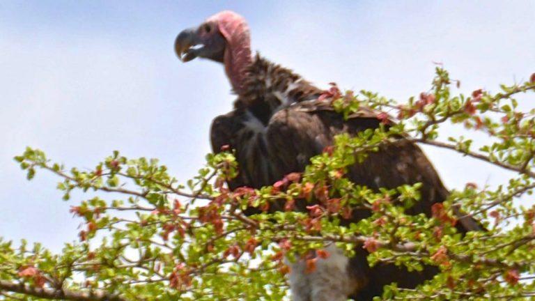Øregrib i Selous, Tanzania.