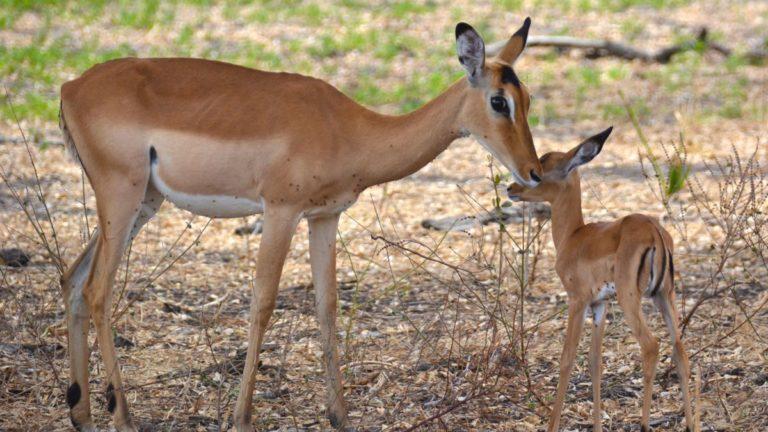 Impala mor og unge i Selous, Tanzania.