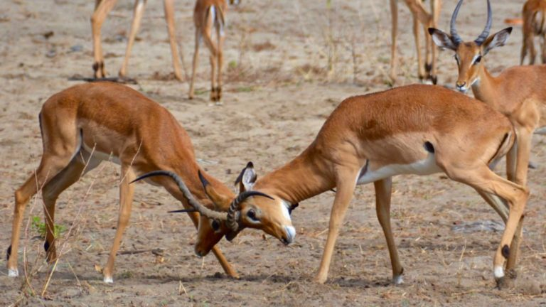 Impalaer slås i Selous, Tanzania.
